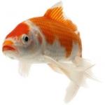 Рыба прудовая