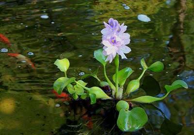 эйхорния. водяной гиацинт (eichhórnia crássipes) Производство Украина плавающие