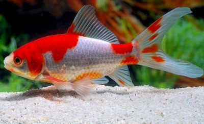 золотая рыбка комета сараса (8 - 11 см) Производство Украина рыба прудовая
