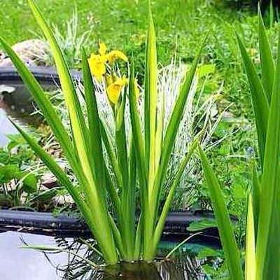 ирис аировидный вариегата (iris pseudacorus «variegata») Производство Украина прибрежные