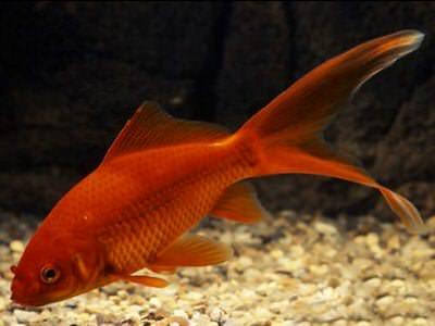 золотая рыбка комета красная (9-11 см) Производство Украина рыба прудовая