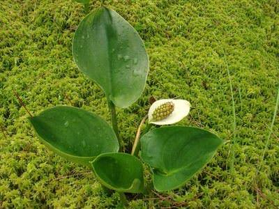 калла болотная.(calla palustris) Производство Украина прибрежные