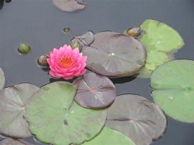 нимфея джэймс бридон (nymphaea james brydon) Производство Украина кувшинки (лилии)