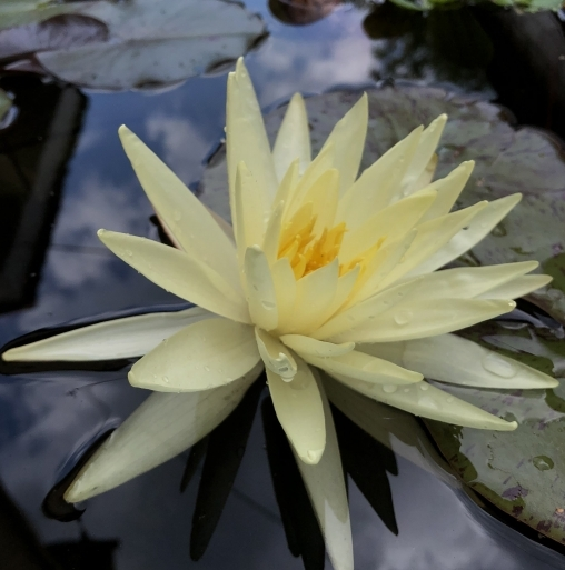 Нимфея Еллоу Куин (Nymphaea Yellow Queen)