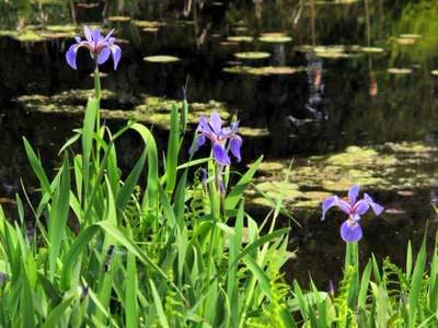 ирис разноцветный (iris versicolor) Производство Украина прибрежные