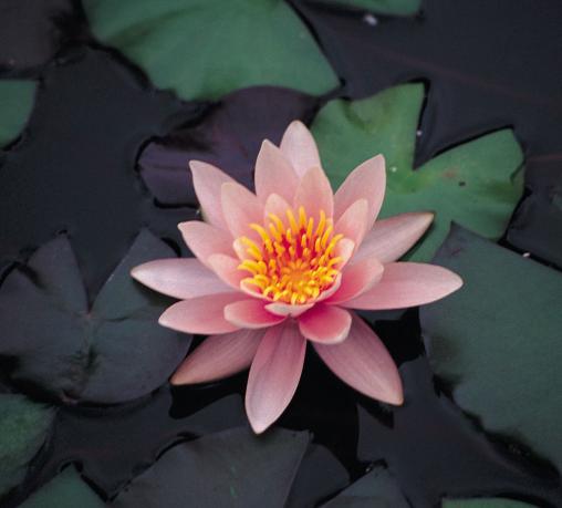 нимфея розэннимфэ ( nymphaea rosennimphe) Производство Украина кувшинки (лилии)