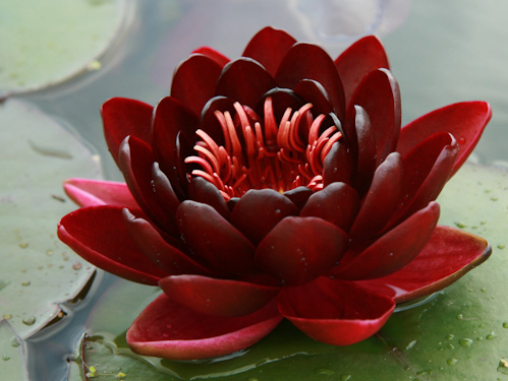 нимфея блэк принцес (nymphaea black princess) Производство Украина кувшинки (лилии)