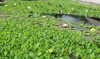 пистия. водяной салат (pistia stratiotes) Производство Украина плавающие
