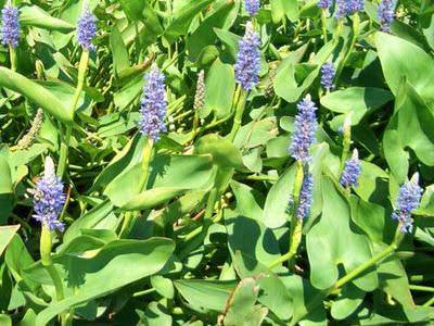 понтедерия сердцевидная (pontederia cordata) Производство Украина прибрежные