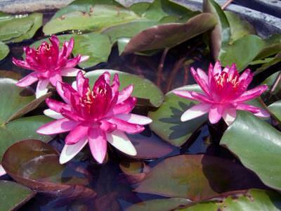 нимфея рэд парадайс (nymphaea red paradise) Производство Украина кувшинки (лилии)