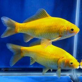 золотая рыбка комета желтая(8-11 см) Производство Украина рыба прудовая