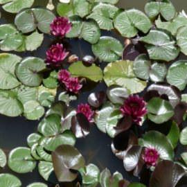 нимфея алмост блэк (nymphaea almost black) Производство Украина кувшинки (лилии)