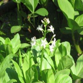 вахта трехлистая (menyanthes trifoliata) Производство Украина прибрежные