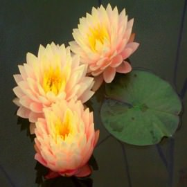нимфея блашинг брайт (nymphaea blushing bride) Производство Украина кувшинки (лилии)