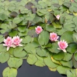 нимфея фабиола (nymphaea fabiola) Производство Украина кувшинки (лилии)