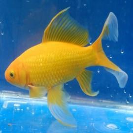 Золотая рыбка Комета желтая (8-11 см)