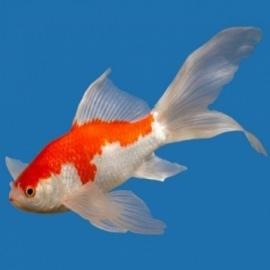 Золотая рыбка Комета Сараса (11-13 см)