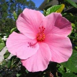 гибискус болотный (hibiscus moscheutos) Производство Украина прибрежные