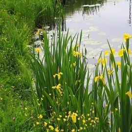 ирис аировидный махровый (iris pseudacorus). Производство Украина прибрежные