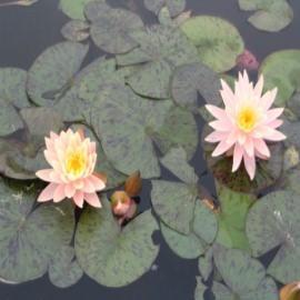 нимфея санни пинк (nymphaea sunny pink) Производство Украина кувшинки (лилии)