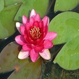 нимфея атракцион (nymphaea attraction). Производство Украина кувшинки (лилии)