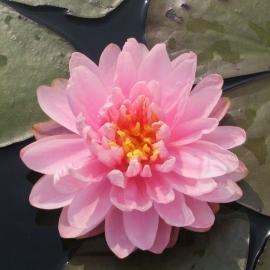 Нимфея Лили Понс (Nymphaea Lily Pons)