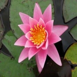 нимфея розовая сенсация (nymphaea pink sensation) Производство Украина кувшинки (лилии)
