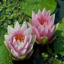 нимфея maдaм bилфpoн жoнноpи (nymphaea mad. wilfron gonnère) Производство Украина кувшинки (лилии)