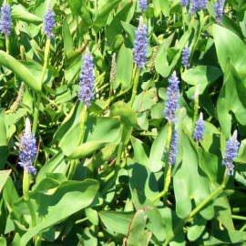 понтедерия сердцевидная pontederia cordata Производство Украина прибрежные