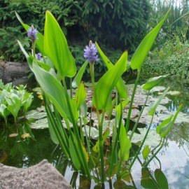 Понтедерия сердцевидная Pontederia cordata