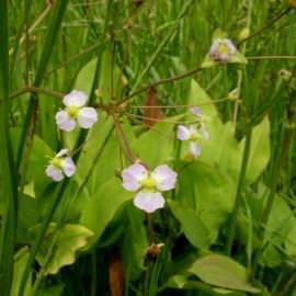 частуха подорожниковая (alisma parviflora) Производство Украина прибрежные