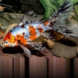 Золотая рыбка Шубункин (Калико) (8-11 см)
