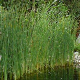 рогоз изящный (typha gracillis) Производство Украина прибрежные