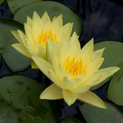 нимфея желтая сенсация (yellow sensation) Производство Украина кувшинки (лилии)