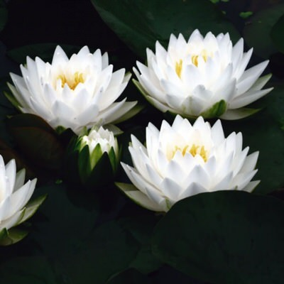нимфея жоннори (nymphaea gonnere) Производство Украина кувшинки (лилии)